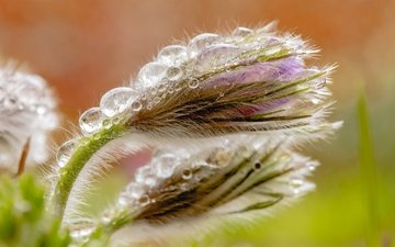 macro, drops, bud, spring, anemone, sleep-grass, cross