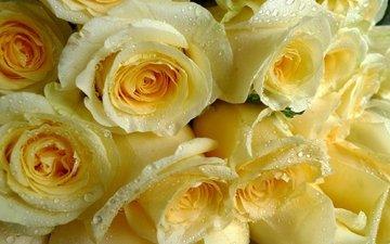капли, розы, охапка