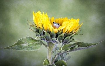 flower, sunflower, frog