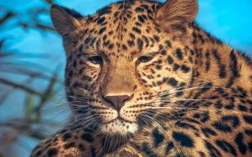 портрет, леопард, пятна
