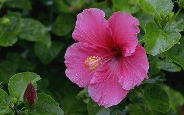макро, розовый, гибискус