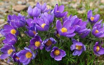 фиолетовый, весна, анемоны, сон-трава, прострел