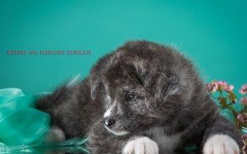 серый, щенок, песик, дымчатый, японская, акита