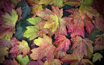 листья, осень, клен