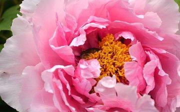 макро, роза, лепестки, бутон, розовый, пион