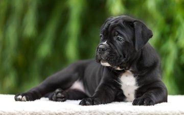 мордочка, взгляд, собака, щенок, порода, кане-корсо