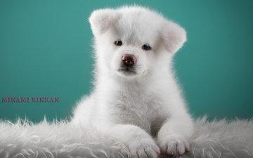 white, puppy, cute, japanese akita