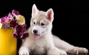eyes, flowers, muzzle, look, dog, puppy, husky, language