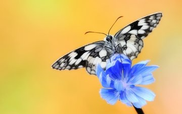 insect, flower, butterfly, wings, chicory, chicory common
