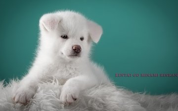 fluffy, white, puppy, doggie, cute, japanese akita