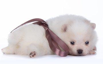 белый, щенок, малыш, бант, шпиц