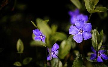 макро, фиолетовый, барвинок