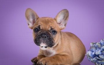 щенок, гортензия, французский бульдог