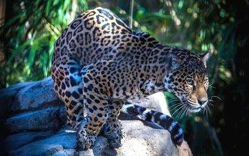 пятна, хищник, ягуар