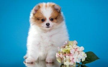 цветы, щенок, милый, шпиц