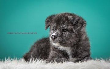серый, щенок, японская акита