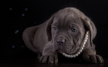 щенок, порода, ожерелье, кане-корсо