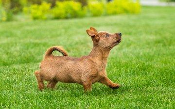 трава, щенок, лужайка, газон, забавный, терьер