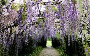 цветы, цветение, парк, ветки, гроздья, глициния, вистерия
