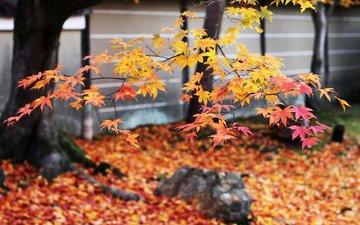 дерево, листья, ветки, листва, осень, японии, осен