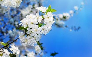 цветение, вишня, распускание, вишенка, flowering trees
