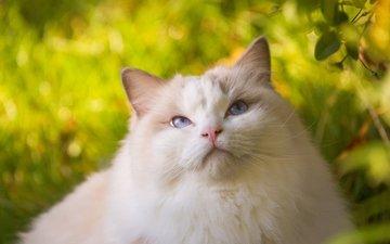 кошка, красавица, пушистая, рэгдолл