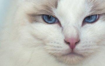 мордочка, кошка, взгляд, голубые глаза, рэгдолл