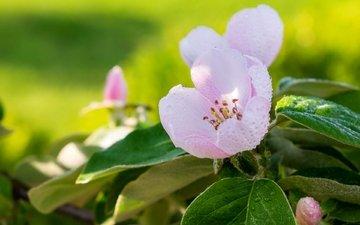 макро, роса, весна, розовый, яблоня