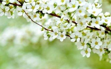 цветение, макро, весна, куст