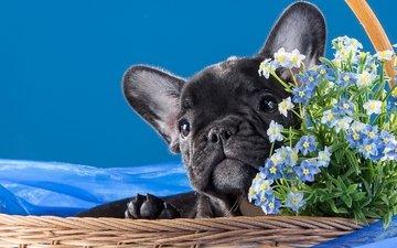собака, щенок, корзина, песик, незабудки, бульдог, французский бульдог, французский