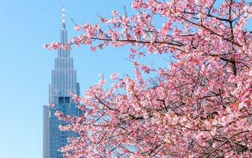 дерево, вашингтон, сша, весна, сакура
