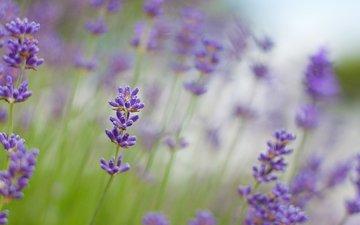 цветы, макро, лаванда, размытость, сиреневые