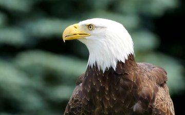 взгляд, орел, профиль, птица, клюв, белоголовый орлан, птаха, ptica-belogolovyy-orlan-5292.jpg птица