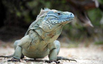 поза, ящерица, рептилия, игуана, пресмыкающееся, blue iguana