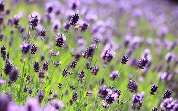 цветы, макро, поле, лаванда, поляна, размытость, фиолетовые, сиреневые