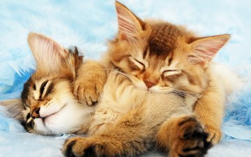 cat, fluffy, sleep, kittens