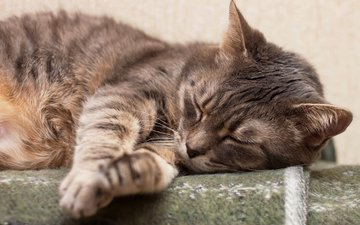 кот, спит, коты, дремлет