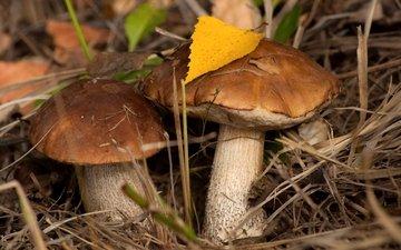 осень, грибы, пара, подберезовик, подберезовики