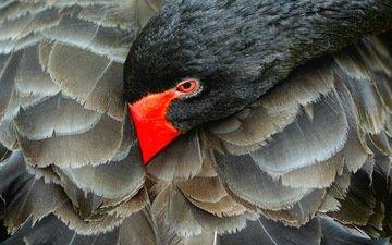природа, черный, птица, лебедь, черный лебедь