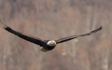 полет, крылья, птица, взмах, белоголовый орлан