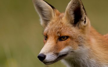 мордочка, взгляд, рыжая, лиса, лисица, лис