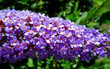 цветы, цветение, весна, цветочки, сиреневые, цветы, blossom, весенние