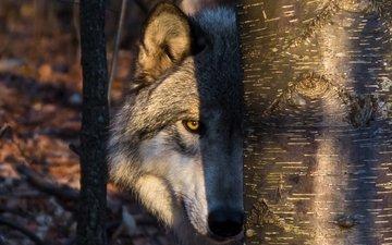 солнце, дерево, портрет, взгляд, тень, хищник, ствол, волк