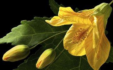 желтый, макро, бутон, гибискус, китайская роза