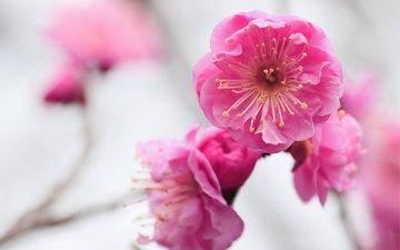 цветы, ветка, цветение, фокус камеры, макро, размытость, абрикос, розовые