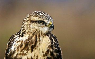 взгляд, профиль, птица, ястреб, птаха, buteo lagopus, rough-legged hawk, мохноногий канюк, зимняк, nпортрет