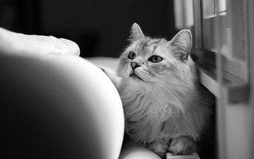 кот, шерсть, кошка, смотрит, чёрно-белое