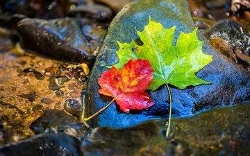 вода, камни, листья, осень, клен, мокрый