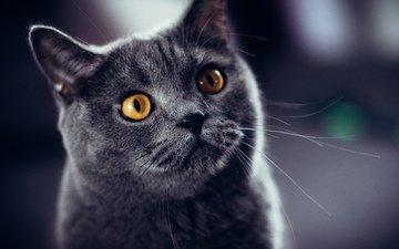 кот, кошка, британец, желтые глаза