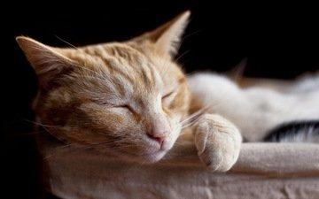 кот, кошка, сон, спит, рыжий, домашние животные